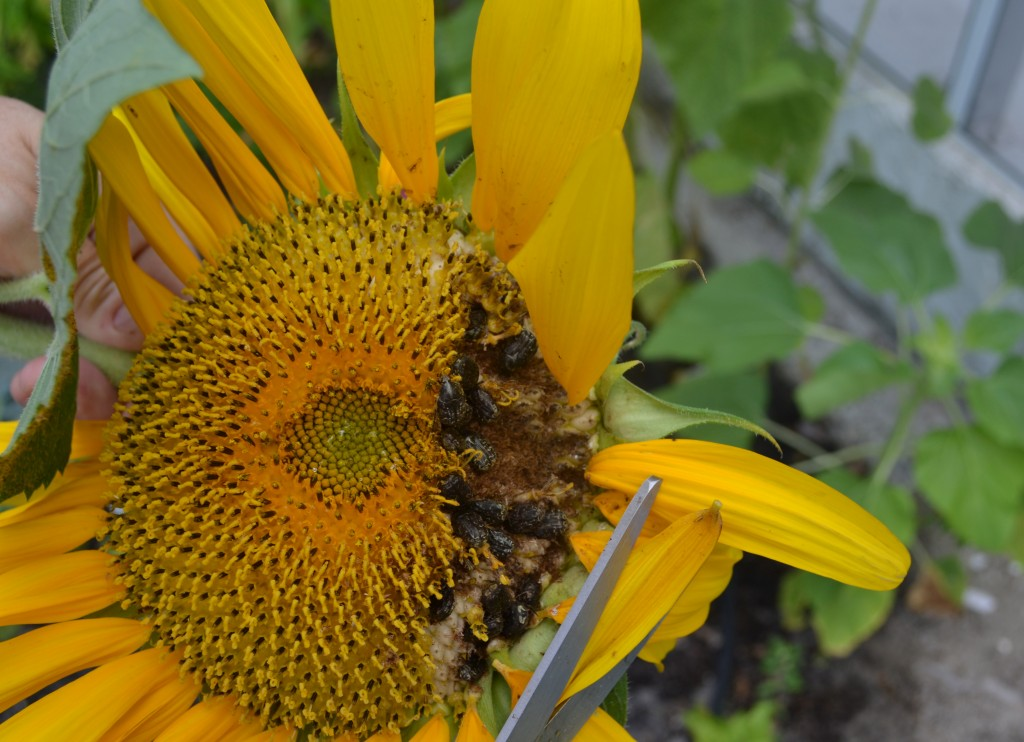 One of the gardening woes: sunflower-eating beetles!
