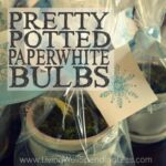 Pretty Potted Paperwhite Bulbs Square 2