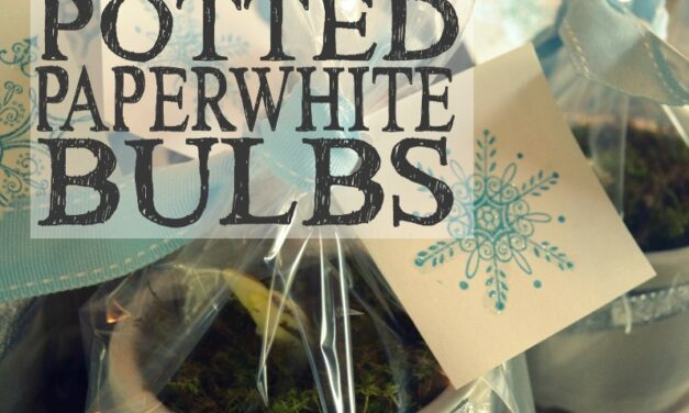Pretty Potted Paperwhite Bulbs