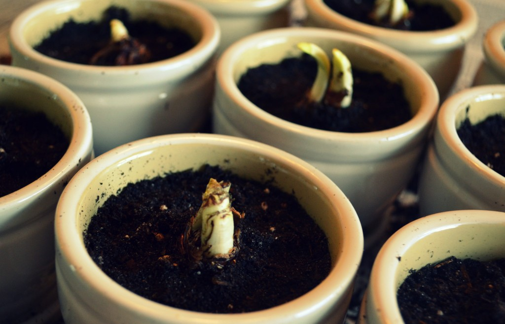 Continue to fill the pots the rest of the way with potting soil.