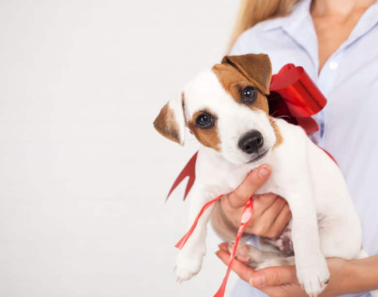44362775 - puppy as a gift. dog with a bow