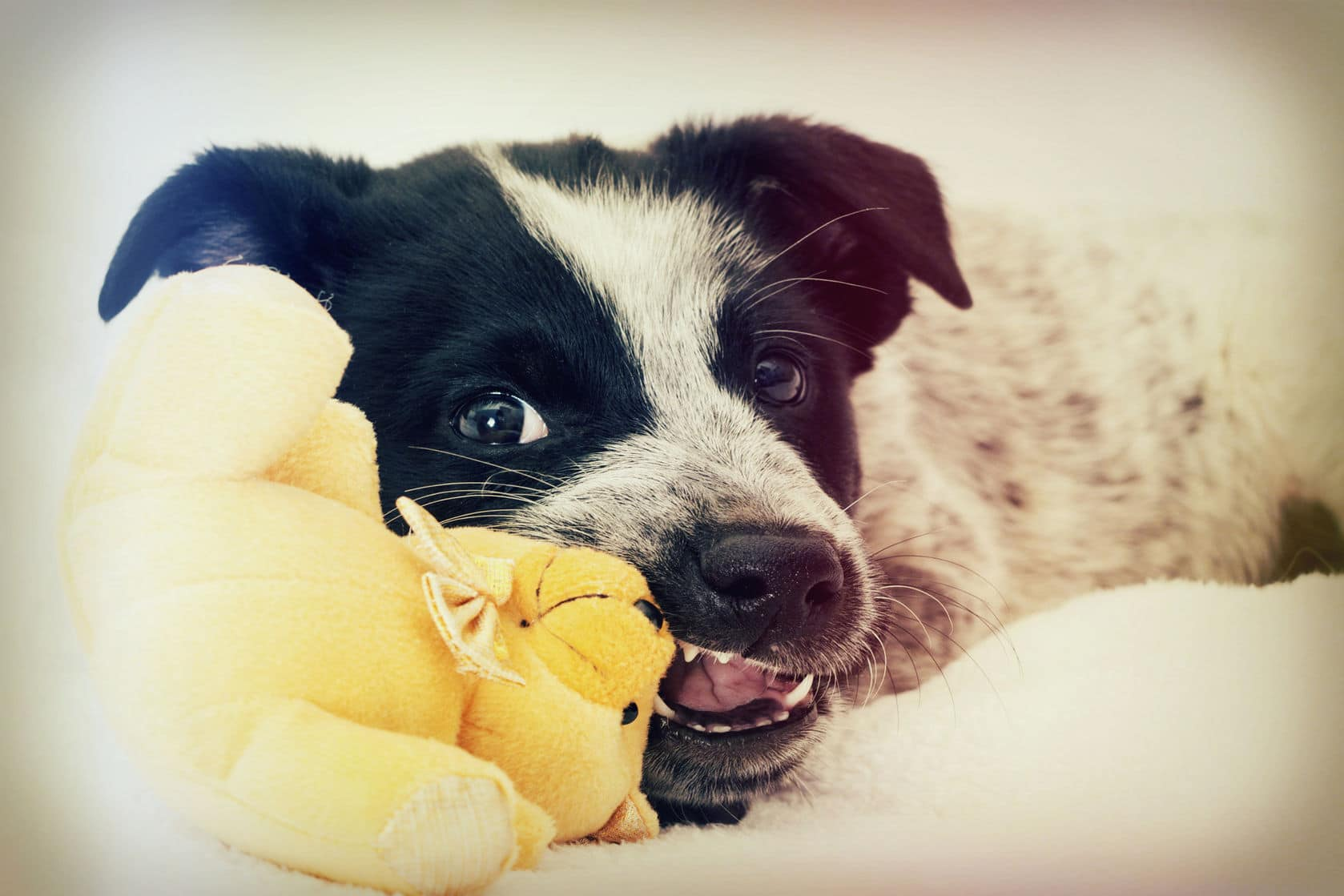 50679720 - funny puppy chewing on a toy