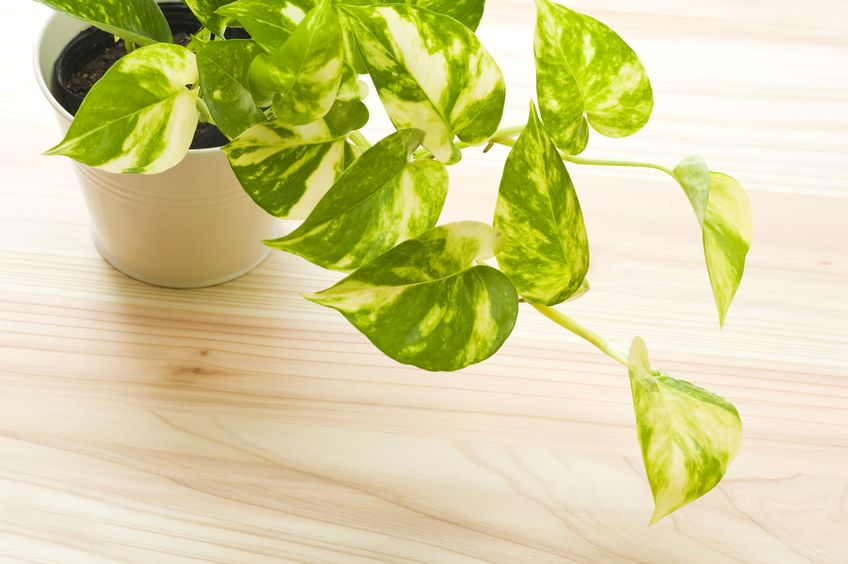 Pothos are super low-maintenance house plants that are hard to kill!