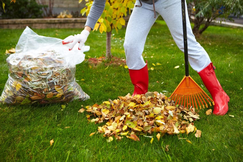 A woman raking leaves outside into a garbage bag.